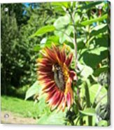 Sunflower 137 Acrylic Print