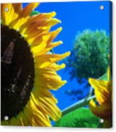 Sunflower 138 Acrylic Print