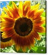 Sunflower 140 Acrylic Print