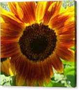 Sunflower 141 Acrylic Print