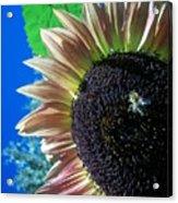 Sunflower 142 Acrylic Print