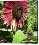 Sunflower 143 Acrylic Print