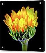 Sunflower 18-15 Acrylic Print