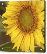 Sunflower-2 Acrylic Print