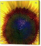 Sunflower 2 Acrylic Print
