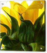Sunflower 2015 2 Acrylic Print