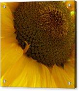 Sunflower 2015 5 Acrylic Print