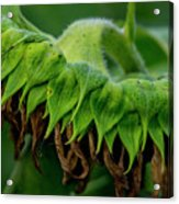 Sunflower 2017 1 Acrylic Print