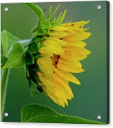 Sunflower 2017 2 Acrylic Print