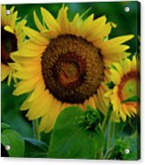 Sunflower 2017 9 Acrylic Print