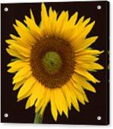 Sunflower 3 Acrylic Print