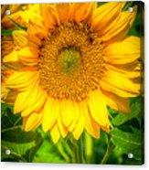 Sunflower 7 Acrylic Print
