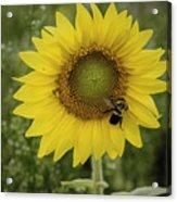 Sunflower Among The Weeds Acrylic Print