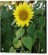 Sunflower Amungst Sunflower's Acrylic Print