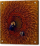 Sunflower And Bees Acrylic Print