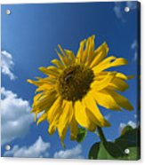 Sunflower And Blue Sky Acrylic Print