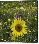 Sunflower And Wildflowers Acrylic Print
