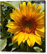 Sunflower Art- Summer Sun- Sunflowers Acrylic Print