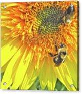 Sunflower Bees Acrylic Print