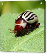 Sunflower Beetle Acrylic Print