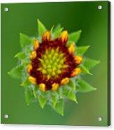 Sunflower Bud  Acrylic Print