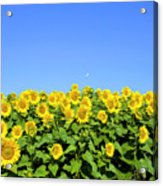 Sunflower City Acrylic Print
