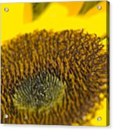 Sunflower Close-up Acrylic Print
