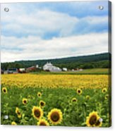 Sunflower Country Landscape  Acrylic Print