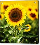 Sunflower Crops On A Farm In South Dakota Acrylic Print