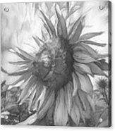 Sunflower Dawn Black And White Drawing Acrylic Print