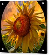 Sunflower Dawn In Oval Acrylic Print
