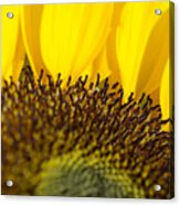 Sunflower Detail Acrylic Print