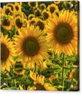 Sunflower Family Acrylic Print