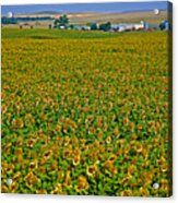 Sunflower Farm In Northwest North Dakota  Acrylic Print