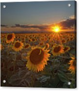 Sunflower Field - Colorado Acrylic Print by Lightvision, LLC