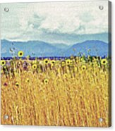 Sunflower Field 2 Acrylic Print