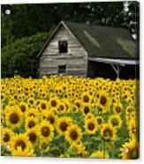 Sunflower Field And Barn Acrylic Print