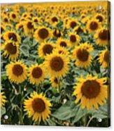 Sunflower Field France Acrylic Print