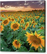 Sunflower Field In Longmont, Colorado Acrylic Print