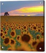 Sunflower Field Acrylic Print by Lightvision, LLC