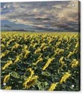 Sunflower Fields Near Denver International Airport Acrylic Print
