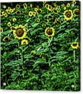Sunflower Field Panorama Acrylic Print