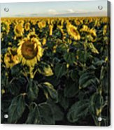 Sunflower Fields  Acrylic Print