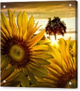 Sunflower Heaven Acrylic Print