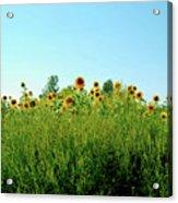 Sunflower Horizon Acrylic Print