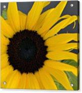 Sunflower II Acrylic Print