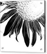Sunflower In Corner Bw Threshold Acrylic Print