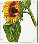 Sunflower In Gouache Acrylic Print