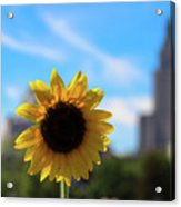 Sunflower In Providence Acrylic Print