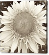 Sunflower In Soft Sepia Acrylic Print